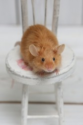 Long haired red decorative satin little mouse. Home animal, fun pet. Lovely mice. Red mice on white background. Decorative satin mouse. Macro photo of mouse, pet. Angora decorative satin mouse (male)