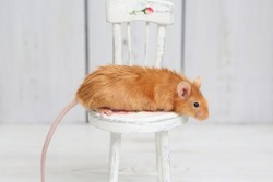 Long haired red decorative satin little mouse. Home animal, fun pet. Lovely mice. Red mice on white background. Fancy satin mouse. Macro photo of mouse on white chair. Cute pet, angora fancy mouse