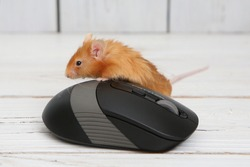 Long haired red decorative satin little mouse on white background. Home animal, fun pet. Lovely mice. Fancy satin mouse. Macro photo of mouse and computer mouse. Cute pet, angora mice, little pet