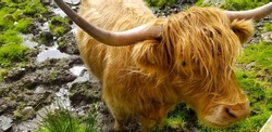 Long-haired Scottish cattle in the Highlands