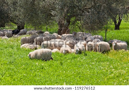 Long-haired sheep herd resting in the olive tree shadow in sunny summer day