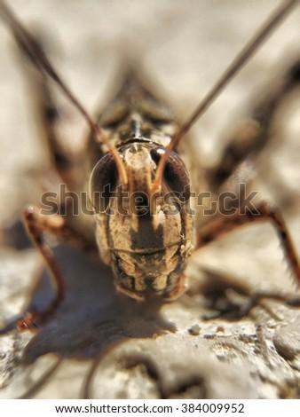 stock-photo-long-horend-grasshopper-or-c