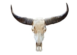 long horn buffalo skull isolated on white