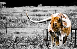 Long horn in farm pasture