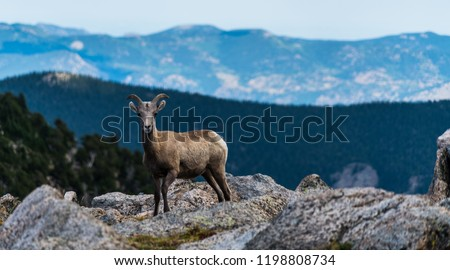 Long horn sheep looking right at me at the camera high in the Colorado Rocky Mountain Landscape Mount Evans Wilderness, wild animal long horn sheep