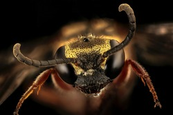 Long-horned bee Isolated on black background, wasps insect, Macro insect, close-up photo of insects flies, studio shoot