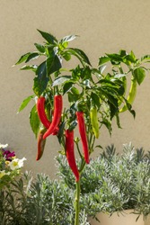 Long hot peppers on a bush. The pepper is red and green.