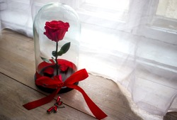 Long-lasting rose in a flask, in a glass dome, stabilized, a gift