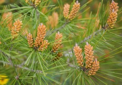 Long-leaf southern pine branches with yellow pollen-producing male cones