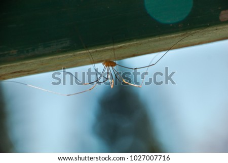 Long Leg Spider. Harvestmen Spider on a wood in nature
