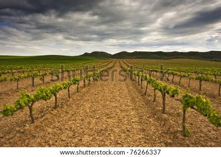 Long lines of vinyard