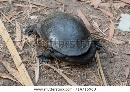 Stock Photo long-necked turtle (Chelodina)