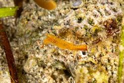 Long nose shrimp, Donald Duck Shrimp, Body length about 20 mm, Leander plumosus