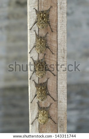 Long-nosed Bats (Rhynchonycteris naso) roosting, Costa Rica