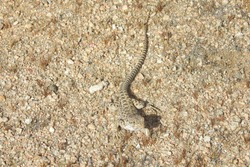 Long-nosed leopard lizard approaching cautiously, Mojave Desert, California.