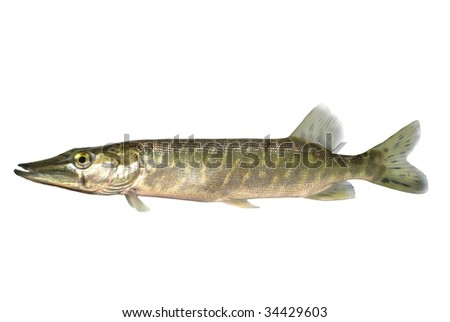 long pike on white background