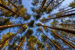 Long Pine trees in summer