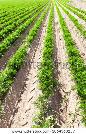 long rows of carrots growing in grooves in the agricultural field, perspective closeup of plants for food