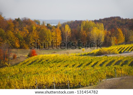 Long rows of green and golden grape leaves in an autumnal vineyard, with bright sun