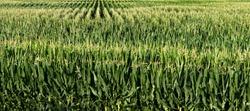 Long rows of tall green corn stalks in field, corn field, midwest, farming, farm, cattle feed, tassels, ethanol, biodiesel fuel