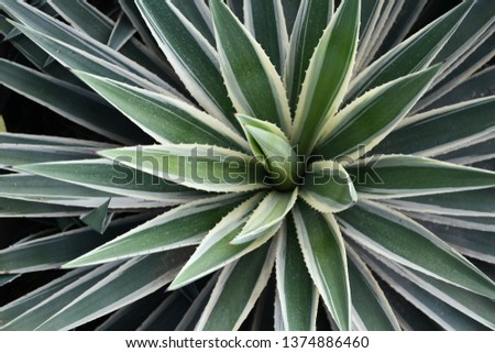Long sharp pointy leaves decoration plant