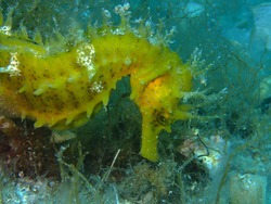 Long-snouted seahorse (Hippocampus guttulatus) in Adriatic sea, Croatia