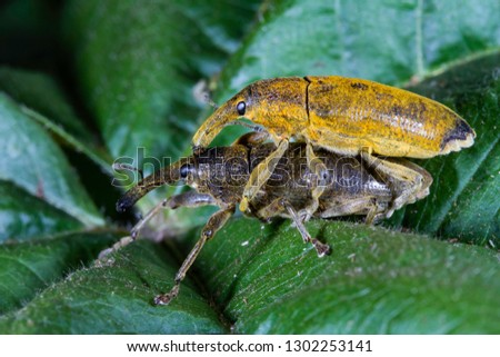 Long snouted Yellow weevils