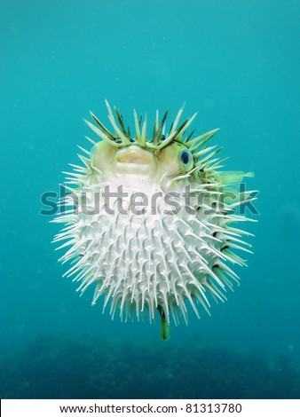 Long-spine porcupinefish also know as spiny balloonfish - Diodon holocanthus