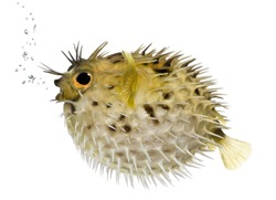 Long-spine porcupinefish also know as spiny balloonfish (fish)- Diodon holocanthus in front of a white background