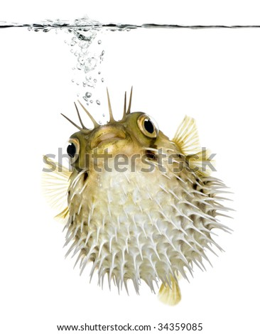 Long-spine porcupinefish also know as spiny balloonfish swimming below the waterline - Diodon holocanthus in front of a white background