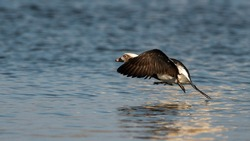 long-tailed duck taking off on lake surface