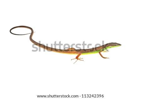 Long-tailed Lizard - stock photo