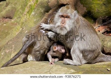 Long-tailed macaque (Macaca fascicularis) - aka the crab-eating macaque,  the cynomolgus monkey and the Philippine monkey - family photographed in the Holy Monkey Forest of Sangeh in Bali.