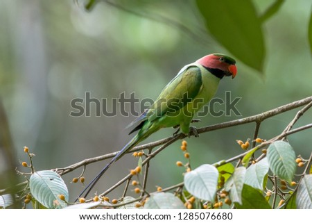 Long-tailed Parrot standing on the branch eating fruits