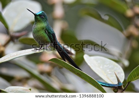Long-tailed sylph resting between feedings  #1396888100