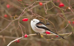 Long-tailed tit, Aegithalos caudatus, Autumn portrait. The bird sits on a branch.