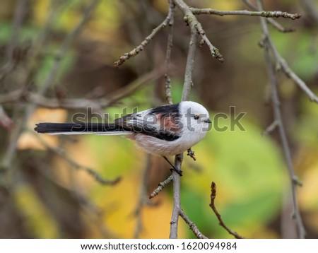 Long-tailed tit (Aegithalos caudatus) in nature among the autumn entourage. Long-tailed tit (Aegithalos caudatus) on branch.