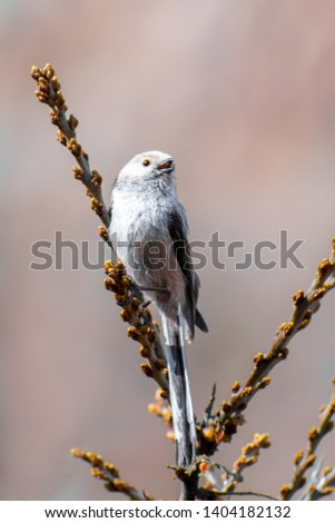 Long-tailed Tit (Aegithalos caudatus) perched on a nice bush. Cute songbird sitting on a beautiful perch. Czech Republic #1404182132