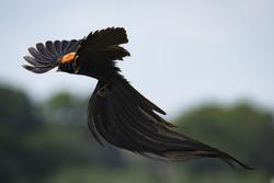 Long-tailed Widow-bird
