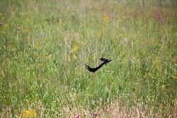 LONG-TAILED WIDOW BIRD FLYING OVER A GREEN GRASSLAND