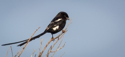 Long-Tailed Widow Bird looking for insects to eat
