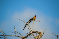 Long tailed widow bird perched on a tree in a nature reserve in South Africa