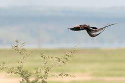 Long Tailed Widowbird (Euplectes progne) - In Flight