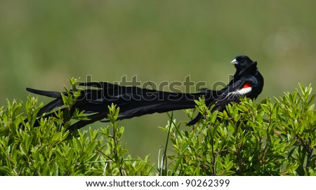 Long-tailed Widowbird with his long tail draped across a bush