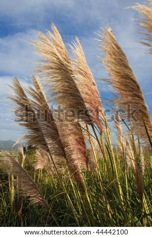 Long tall fluffy grass