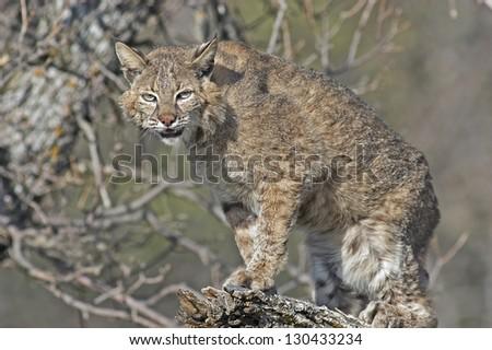Long telephoto shot of a bobcat on tree limb