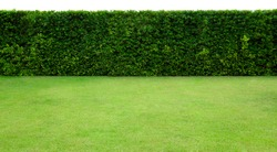 Long tree hedge and green grass lawn. The upper part isolated on white background.