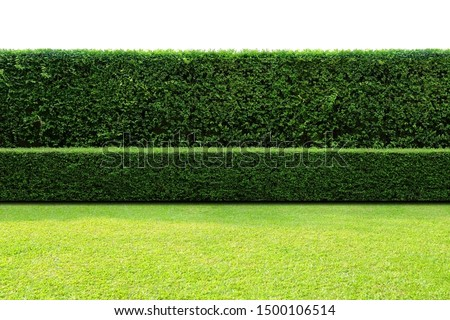 Long tree hedge, double layers  (two steps); small and tall hedge.   Upper part isolated on white background.