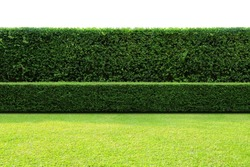 Long tree hedge, double layers  (two steps); small and tall hedge with green grass lawn in foreground. Upper part isolated on white background.
