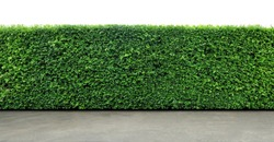 Long tree hedge or fence trees with textured concrete floor in foreground. Upper part isolated on white background.